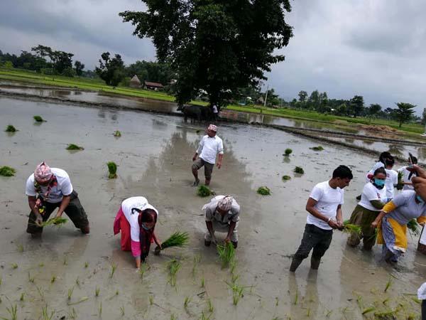 राष्ट्रिय धान दिवसको अवसरमा नमुना कृषक समुहको अगुवाइमा झापाको कमल गाउँ पालिकामा धान रोप्दै स्थानियहरु